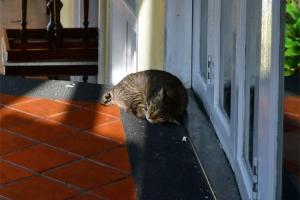 Singapore Cat