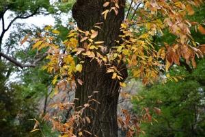アベマキ Abemaki (Quercus variabilis)