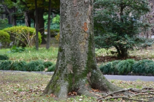 Keyaki tree