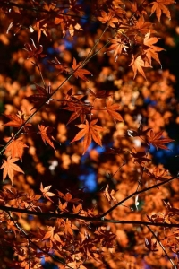 Momiji maples