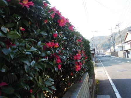 ⑱山茶花1(2020-01-04)