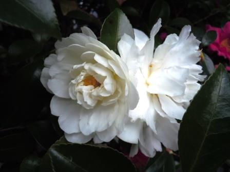 山茶花(白)1(2019-12-24)