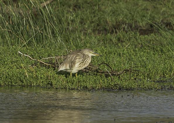 インドアカガシラサギ12