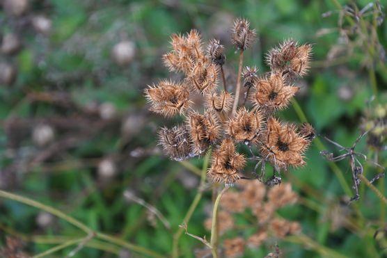 20200703 オルレアの種子