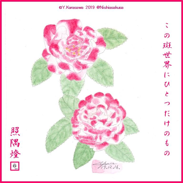 191216八重咲寒椿紅白斑LRG