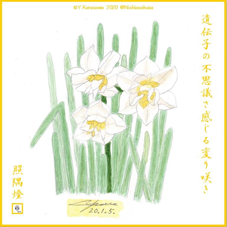 200105日本水仙変り咲きLRG