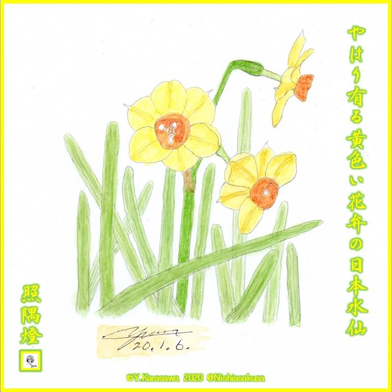 200106日本水仙黄色LRG