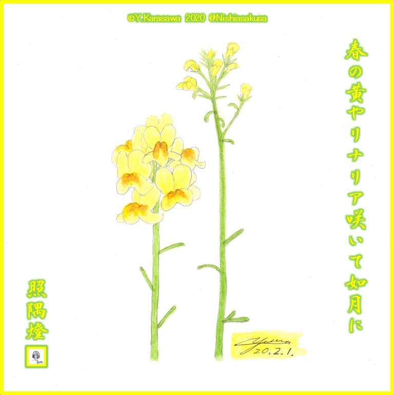 200201リナリア黄色LRG