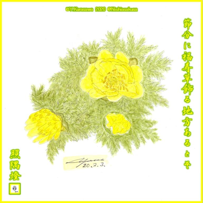 200203福寿草LRG