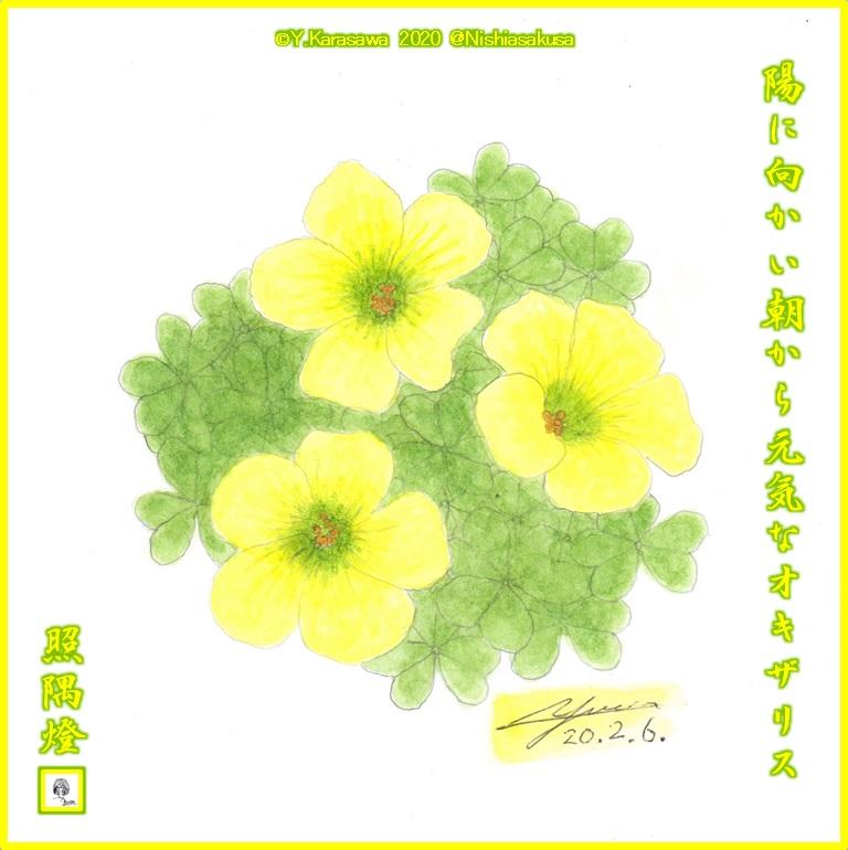 200206オキザリス黄色LRG