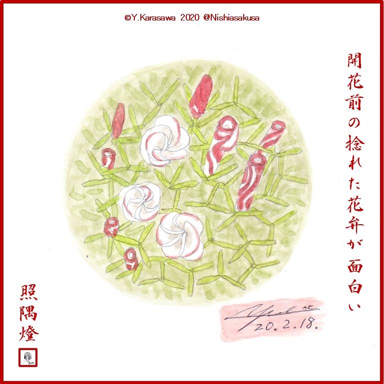 200218オキザリス・ベルシコロールLRG