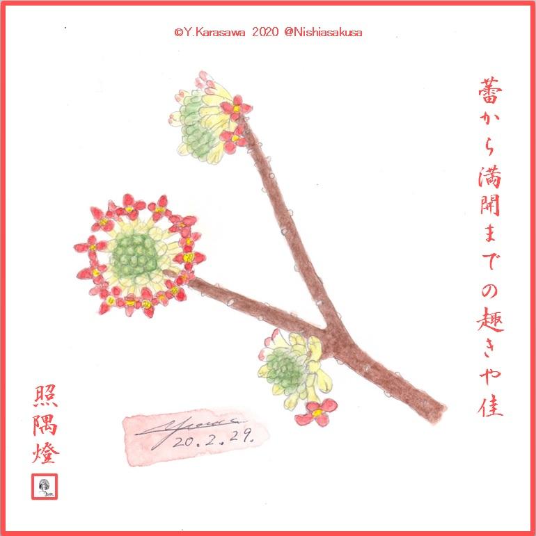 200229赤花三椏LRG