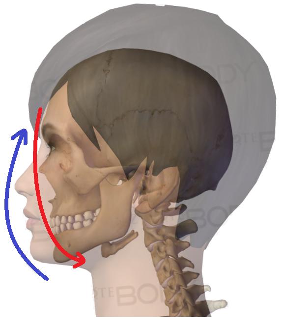 顔面骨下方・皮膚上方