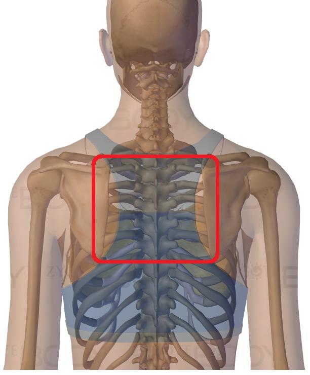 肩甲骨の間