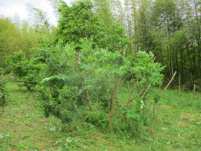 200525タラの木伐採1