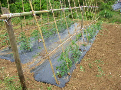 200526トマトの支柱1