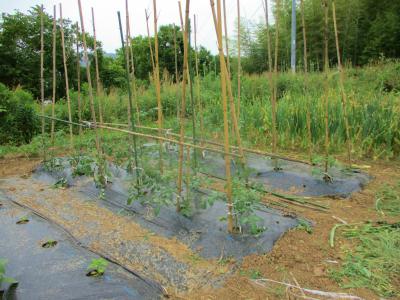 200526トマトの支柱2