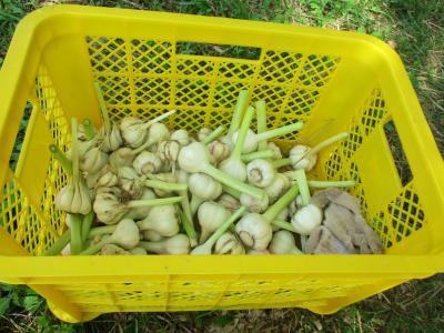 200527ニンニクの最後の収穫