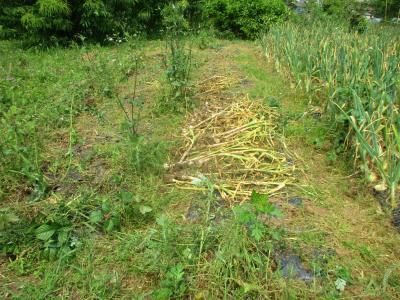200527ニンニク収穫続き