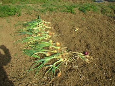 200527順次玉ねぎの収穫