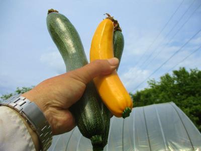 200530ズッキーニ初収穫
