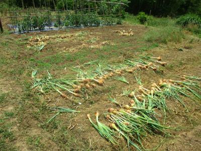 200604タマネギの収穫