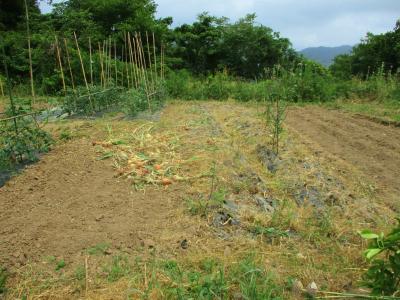 200606タマネギの収穫完了1