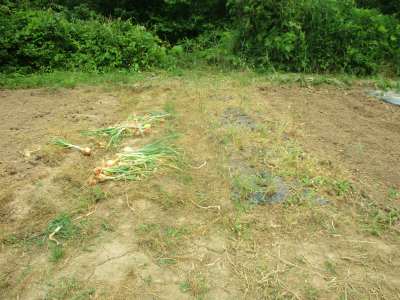 200606タマネギの収穫完了2