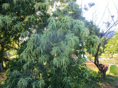 200607 栗の花