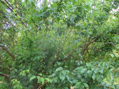 200612収穫を待つ梅