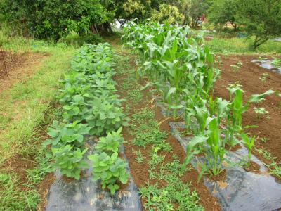 200612トウモロコシ・枝豆