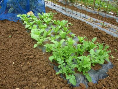 200612青梗菜とルッコラ