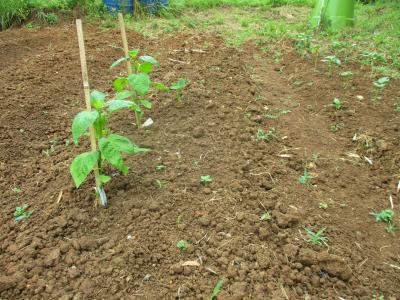 200612里芋の芽が出て来た