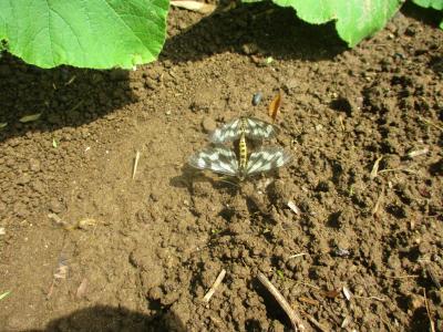 200615蛾の種族保存