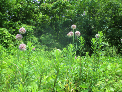 200615耕作放棄地のジャンボニンニクの花