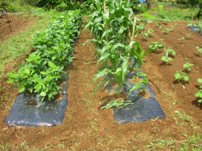 200615倒れたトウモロコシ復旧