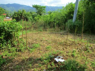 200615北側では竹がニョキニョキ