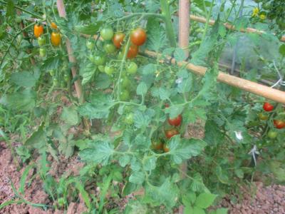 200616ハウスのトマトが色ずきだした