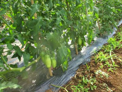 200616料理用トマト