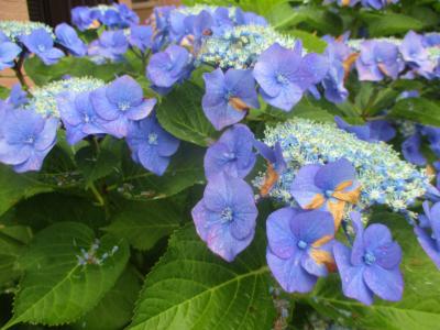 200626家の前の紫陽花