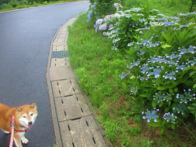 200626道の脇の紫陽花