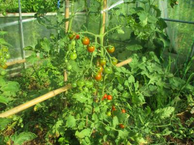 200626ハウスのトマト