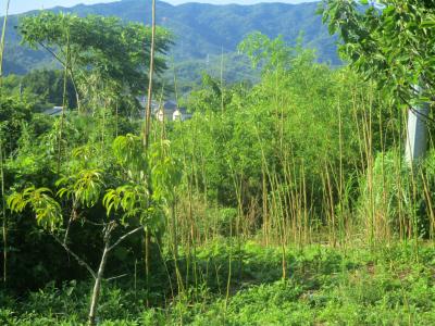 200626畑北側は竹がいっぱい
