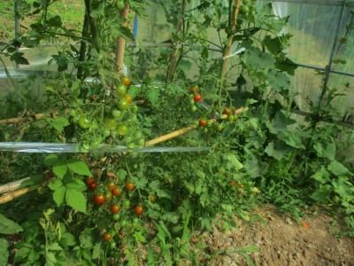 200702ハウスのトマト