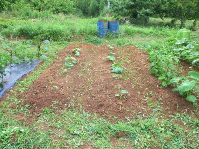 200703里芋の草取り