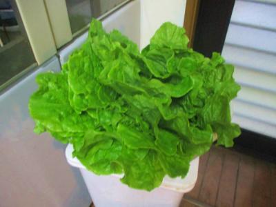 200706サンチュ収穫