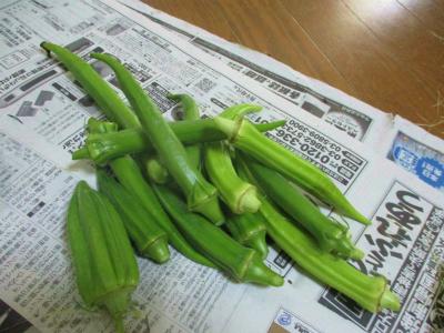 200716オクラ収穫