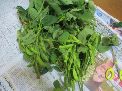 200716枝豆収穫