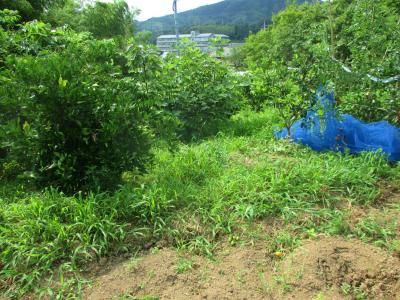 200718果樹の間の草