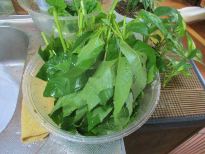 200723収穫した空芯菜